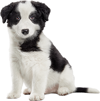 15_BORDER_COLLIE_PUPPY_AAFF copiaккк.png