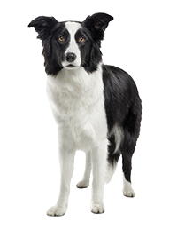 16.BORDER COLLIE_ADULT_AAFF copia.png